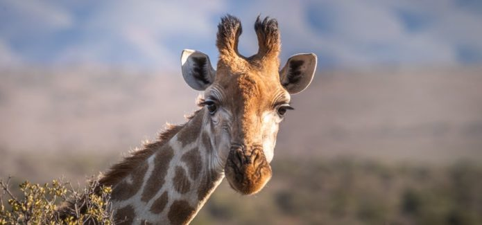 Afryka zebra